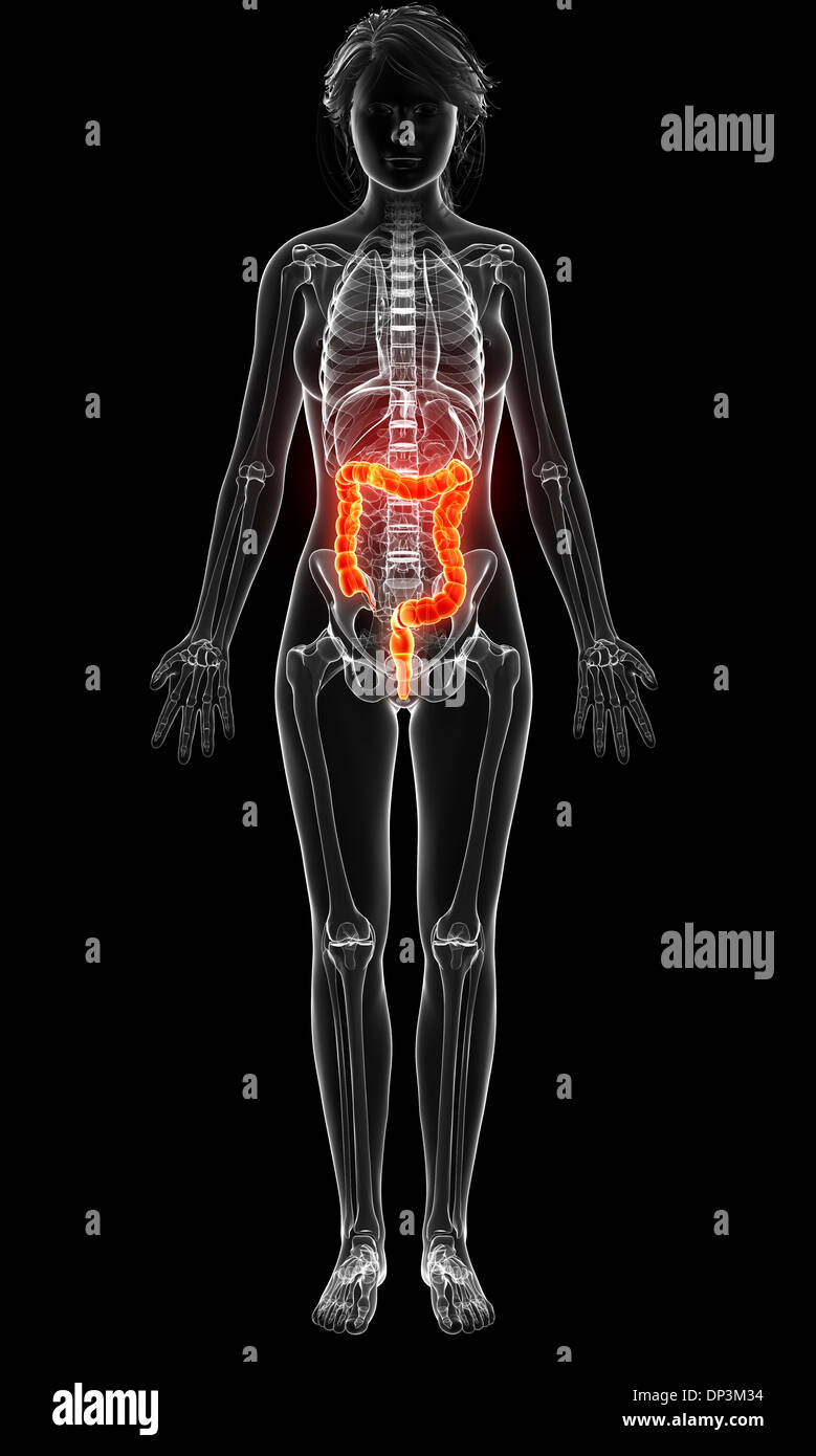Niedlich Querschnitt Weibliche Anatomie Zeitgenössisch - Anatomie ...