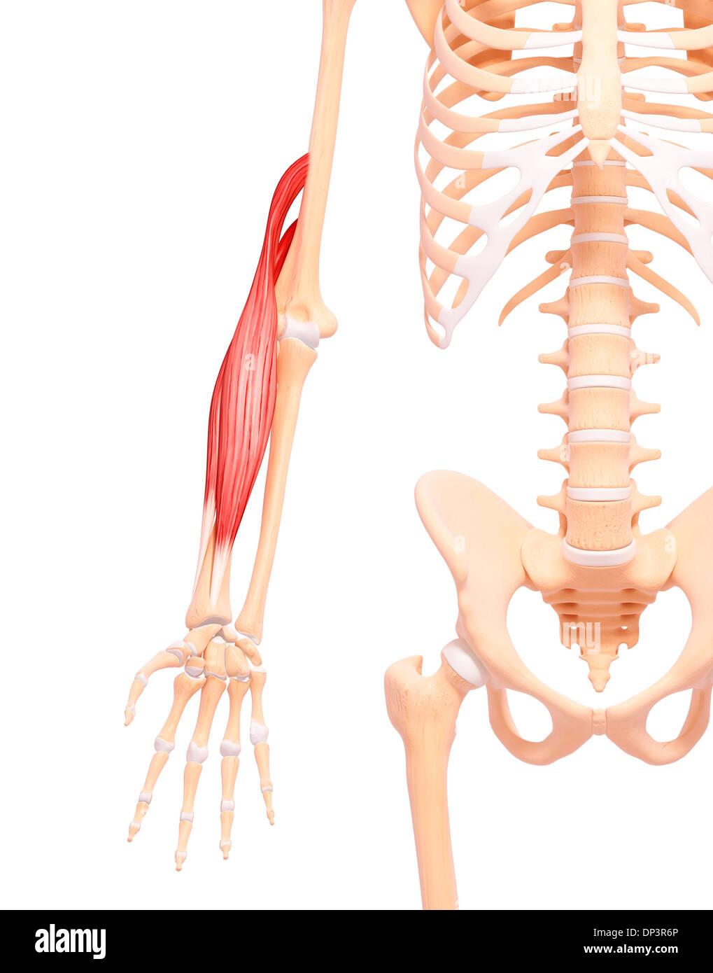 Großzügig Menschlicher Arm Anatomie & Muskel Galerie - Physiologie ...