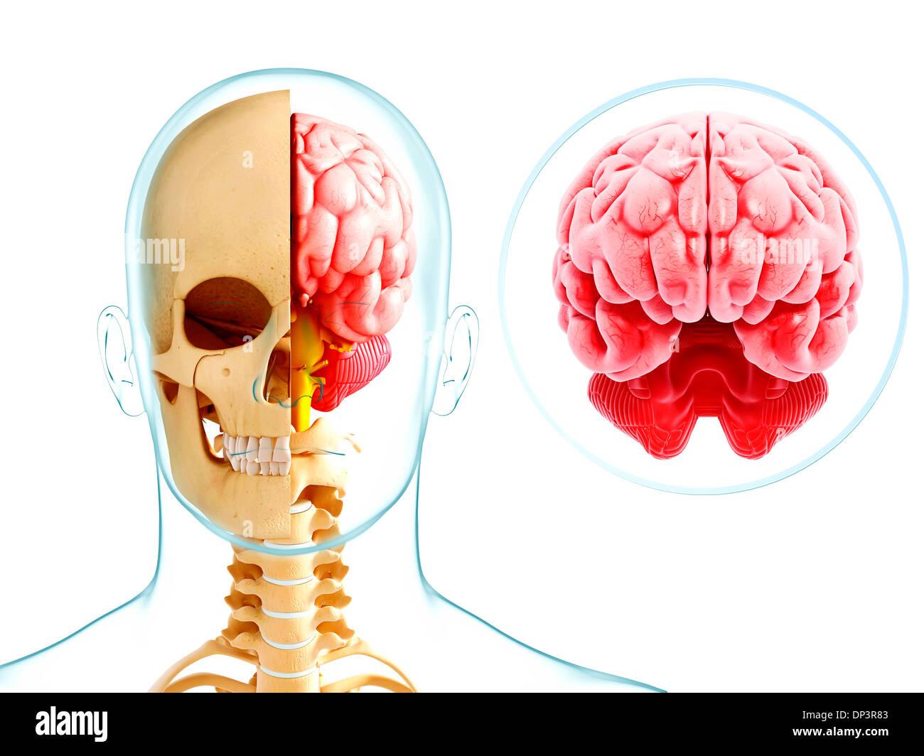 Atemberaubend Anatomie Des Menschlichen Gehirns Videos Galerie ...