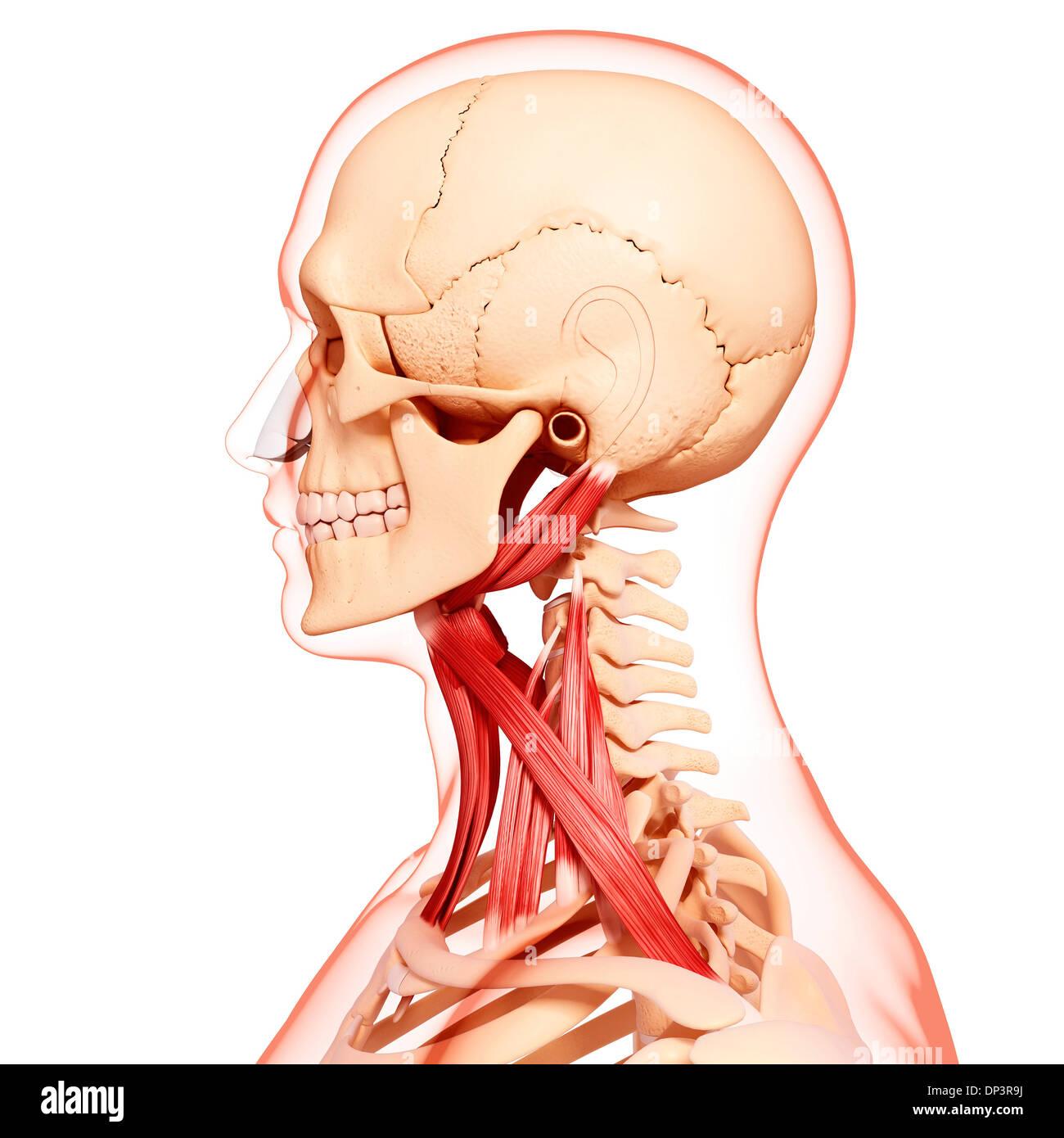 Sternothyroid Stockfotos & Sternothyroid Bilder - Alamy