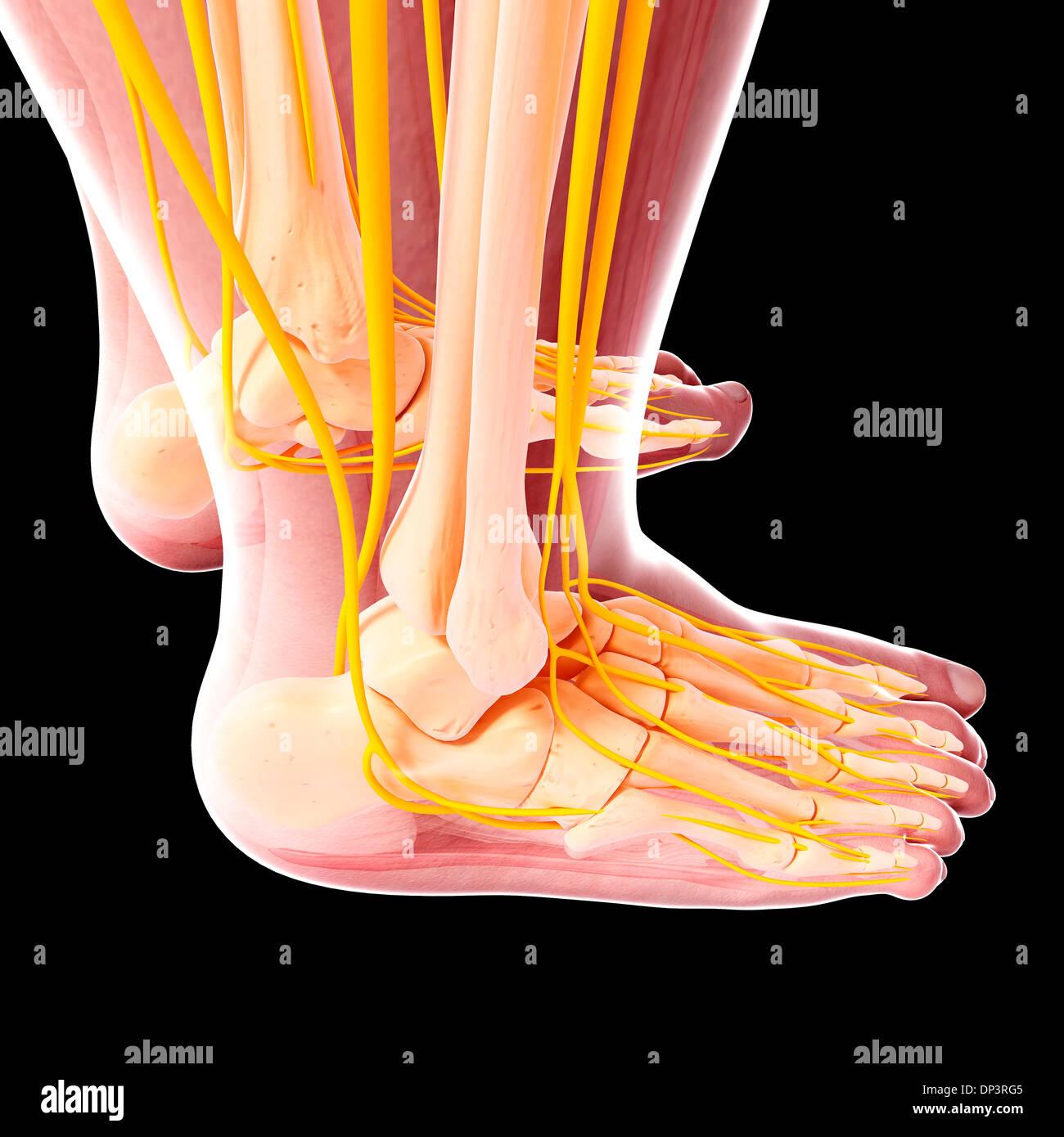 Nervensystem des menschlichen Fußes, artwork Stockfoto, Bild ...