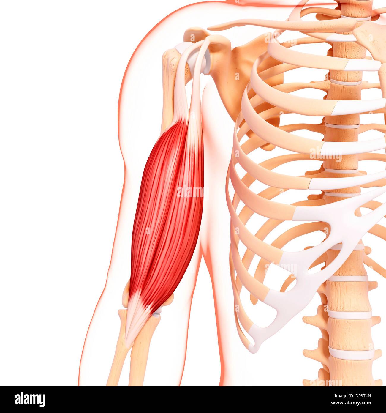 Menschlicher Arm Muskulatur, artwork Stockfoto, Bild: 65238341 - Alamy
