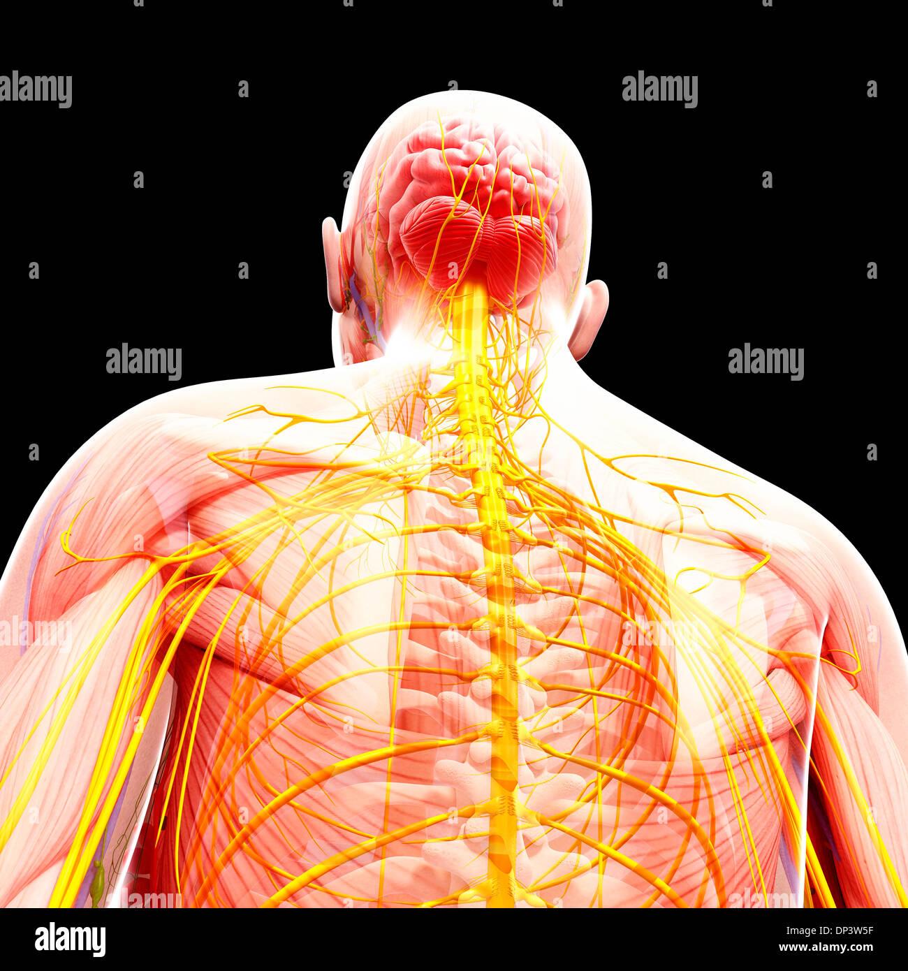Atemberaubend Menschlichen Fortpflanzungssystem Anatomie ...