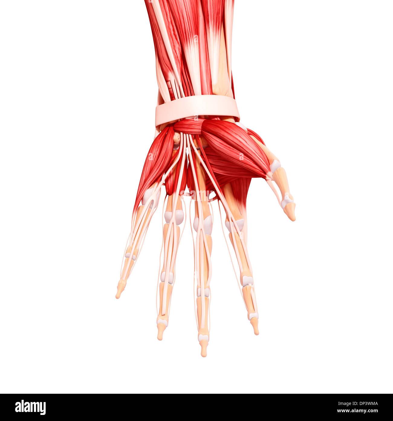 Erfreut Die Menschliche Hand Anatomie Bilder - Menschliche Anatomie ...