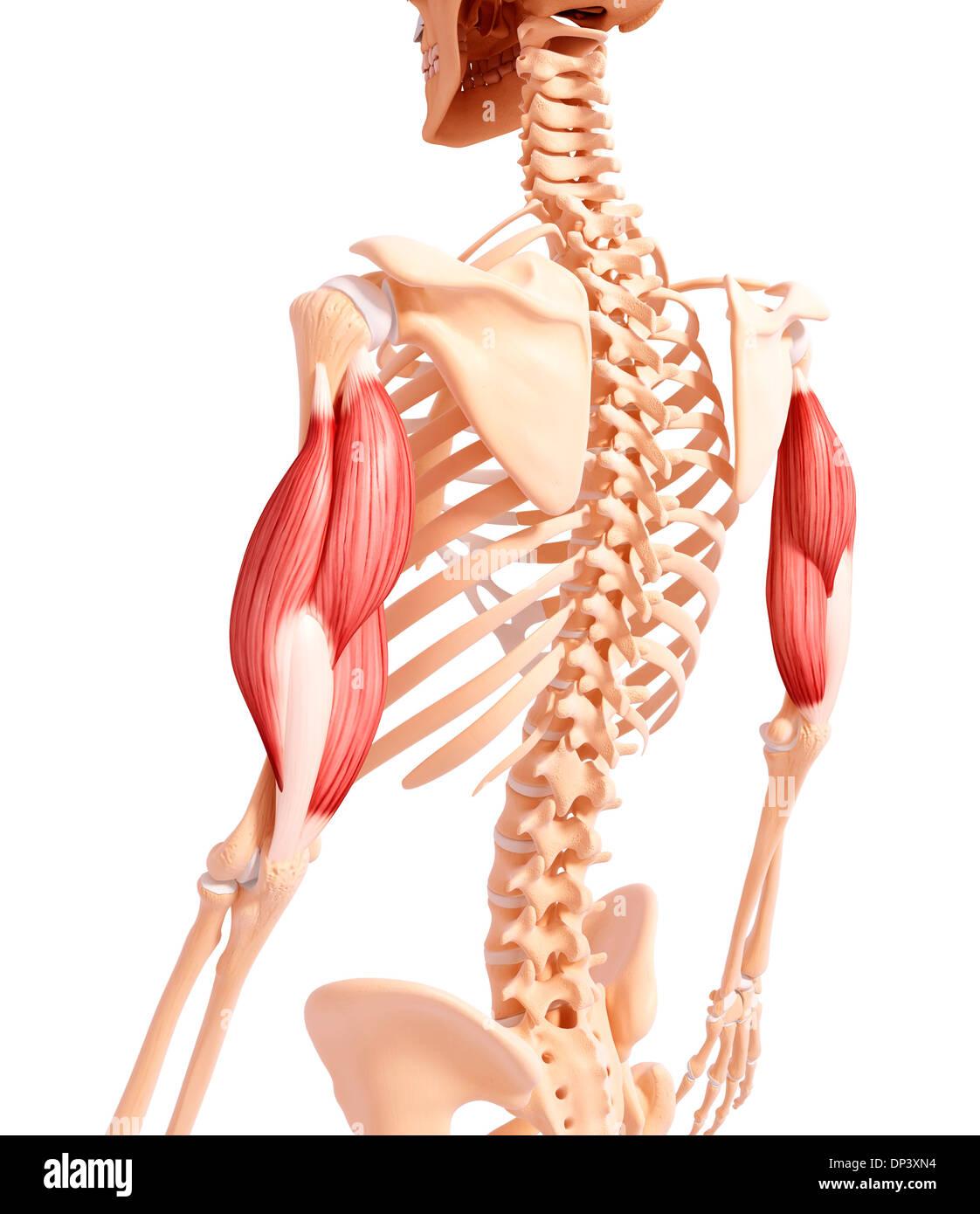 Menschlicher Arm Muskulatur, artwork Stockfoto, Bild: 65240368 - Alamy