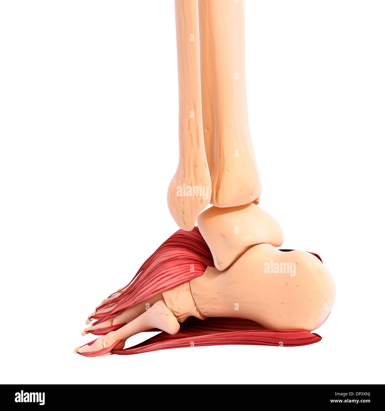 Fantastisch Anatomie Der Fußmuskulatur Galerie - Anatomie Ideen ...