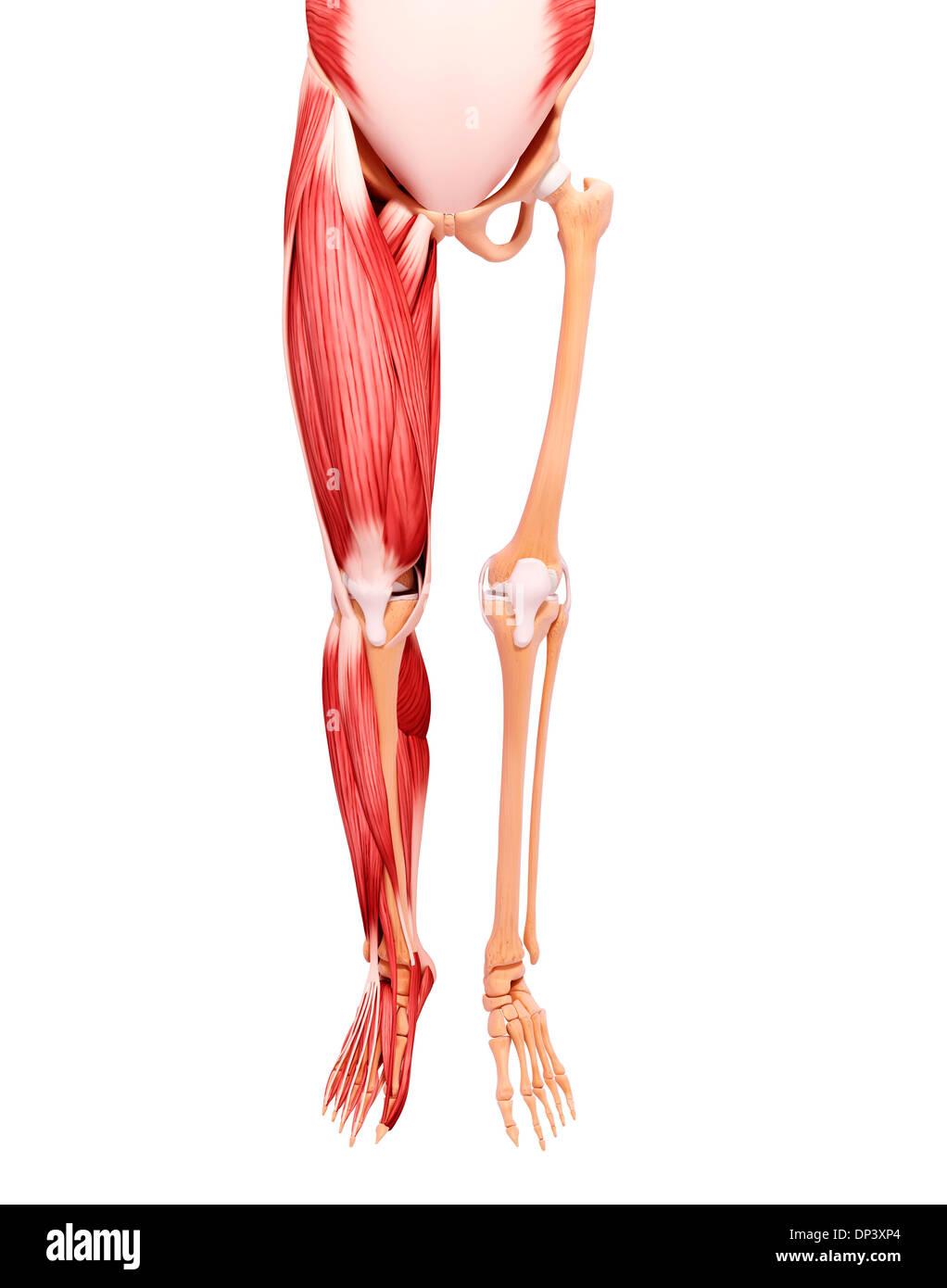 Charmant Anatomie Beinmuskulatur Und Sehnen Ideen - Menschliche ...