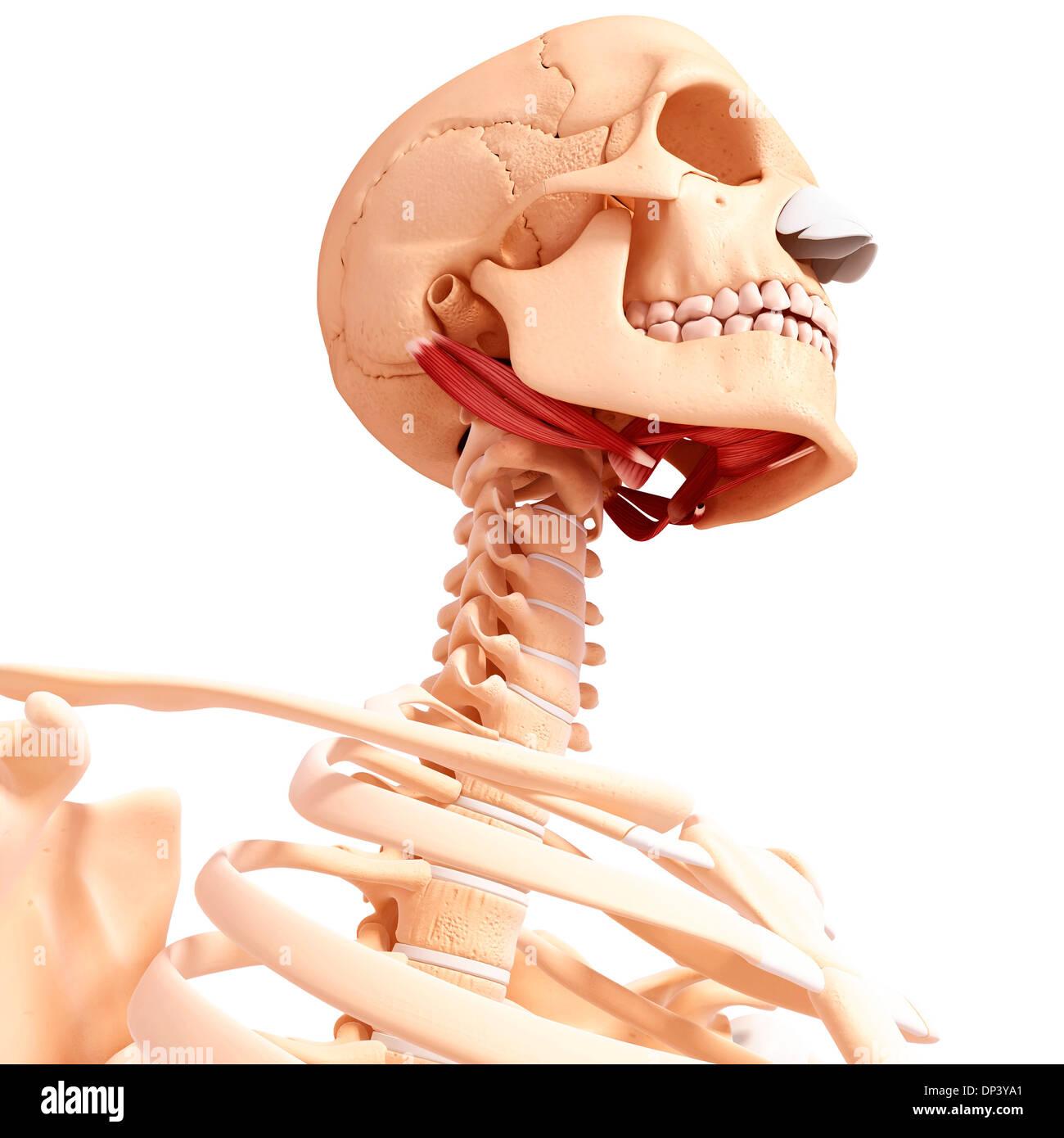 Fein Halsmuskelanatomie Diagramm Bilder - Anatomie Von Menschlichen ...