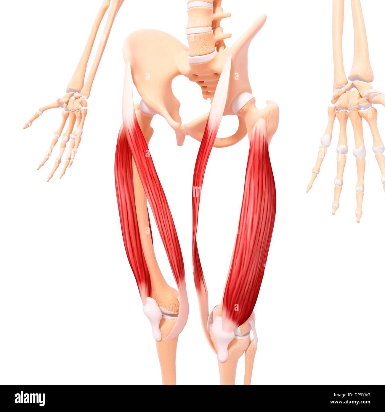 Berühmt Menschlichem Beinmuskel Anatomie Bilder - Menschliche ...