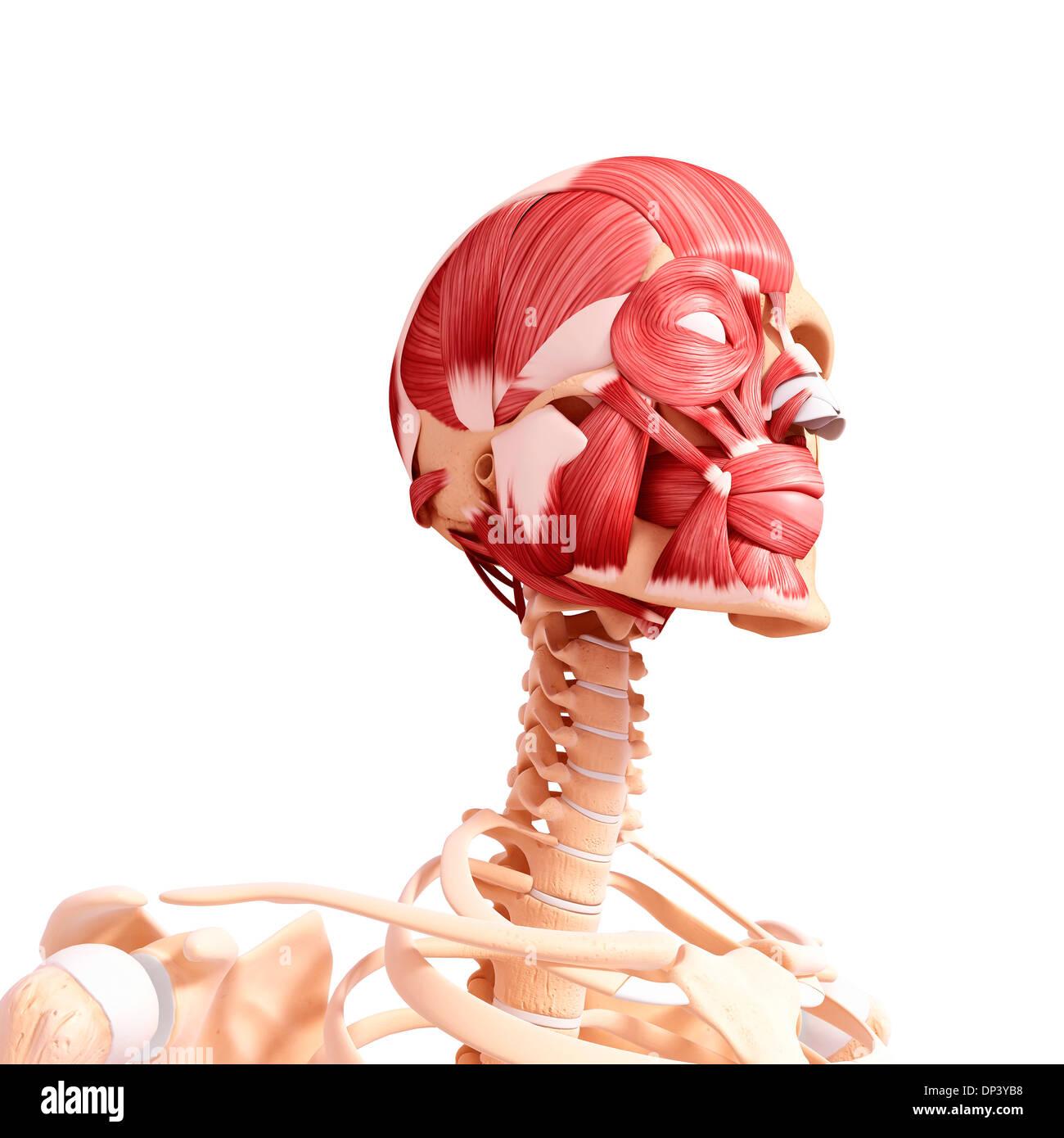 Ziemlich Hals Anatomie Muskeln Zeitgenössisch - Menschliche Anatomie ...