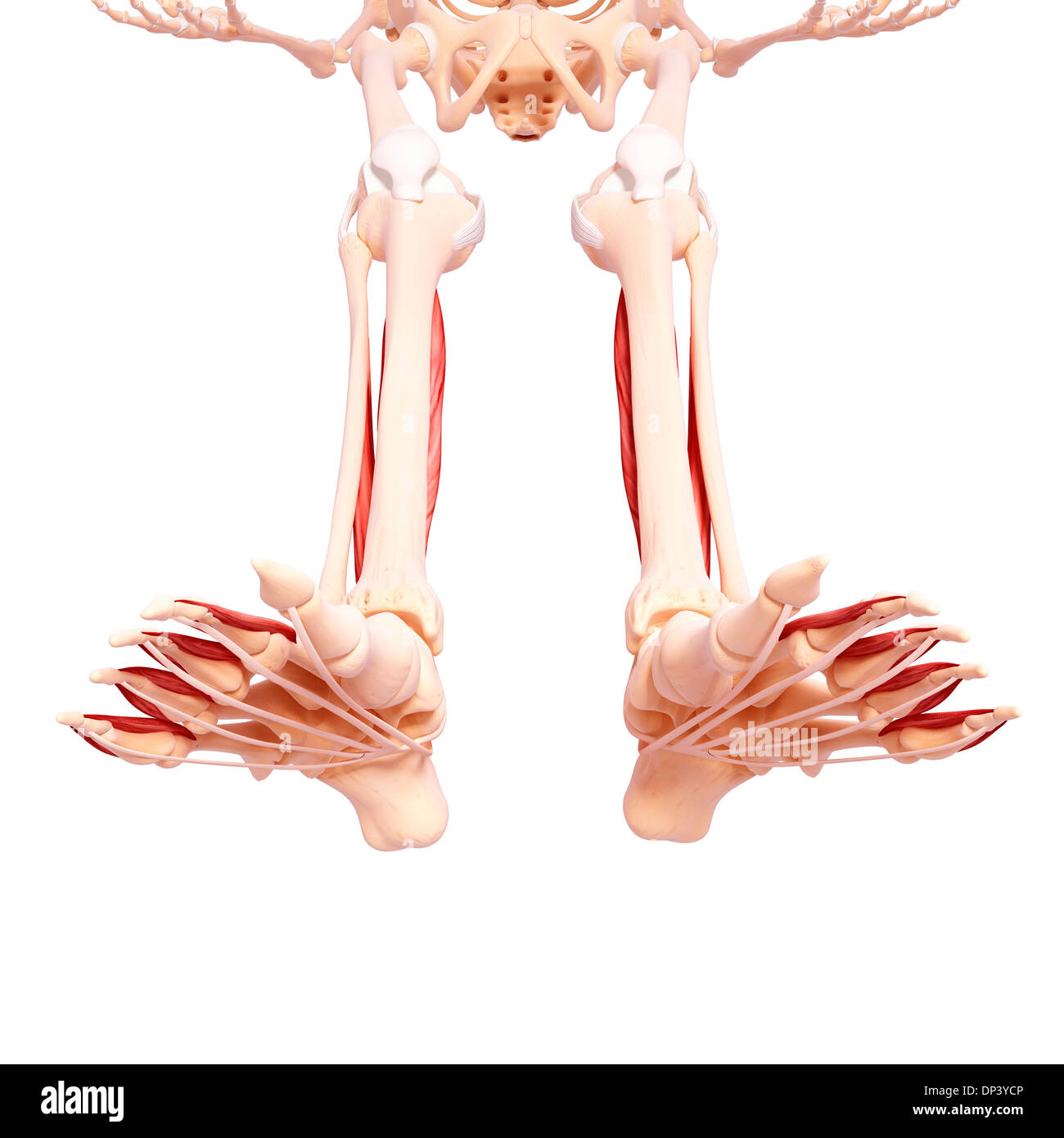 Ziemlich Menschlichem Beinmuskel Anatomie Bilder - Menschliche ...