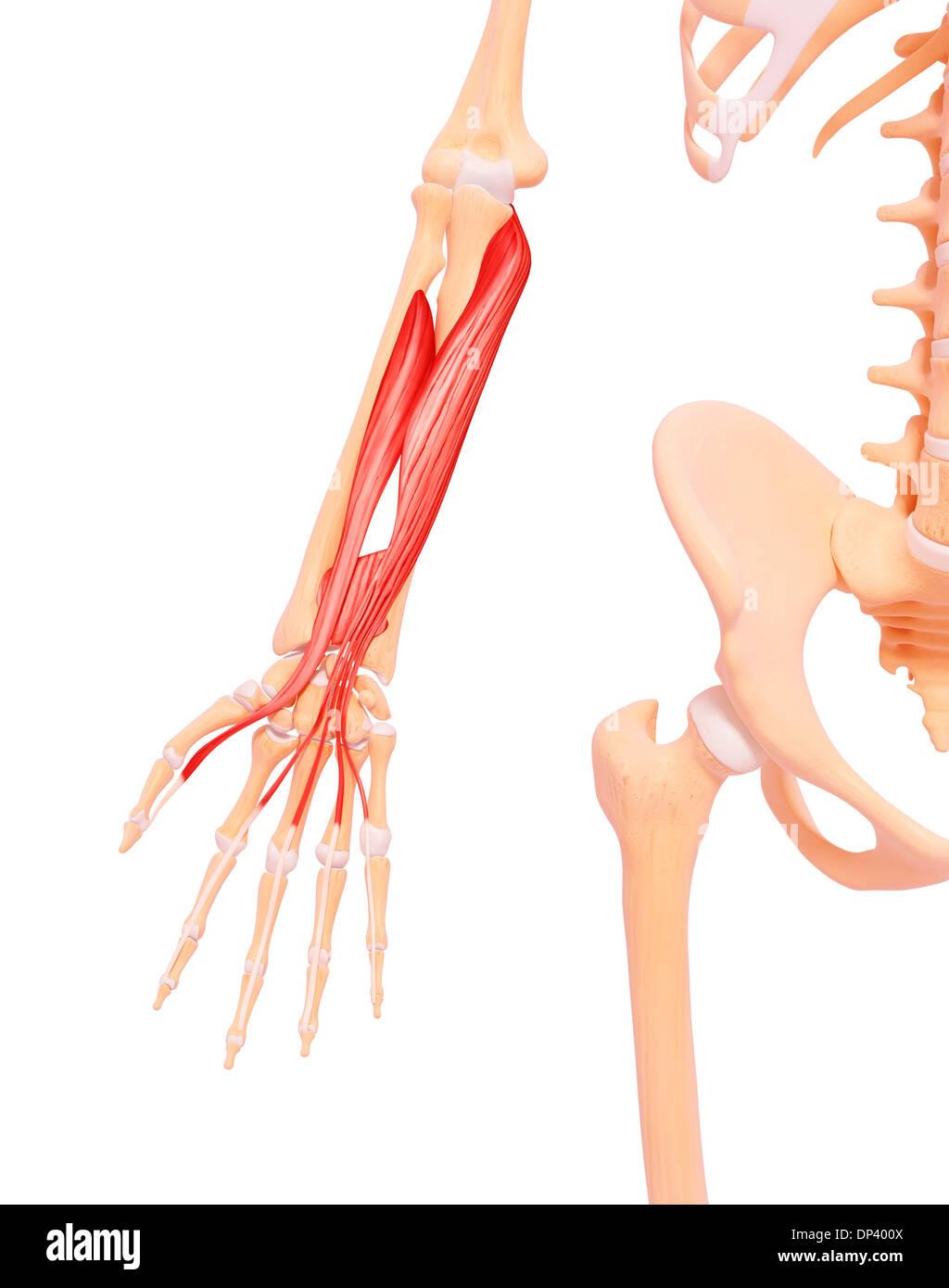 Menschlicher Arm Muskulatur, artwork Stockfoto, Bild: 65241370 - Alamy