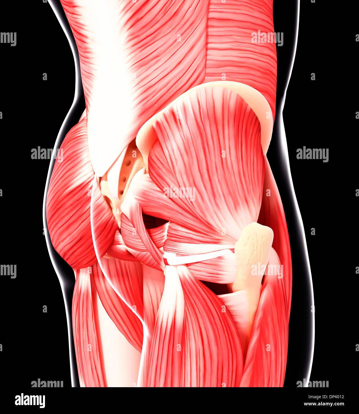 Menschlichen Hüfte Muskulatur, artwork Stockfoto, Bild: 65241374 - Alamy