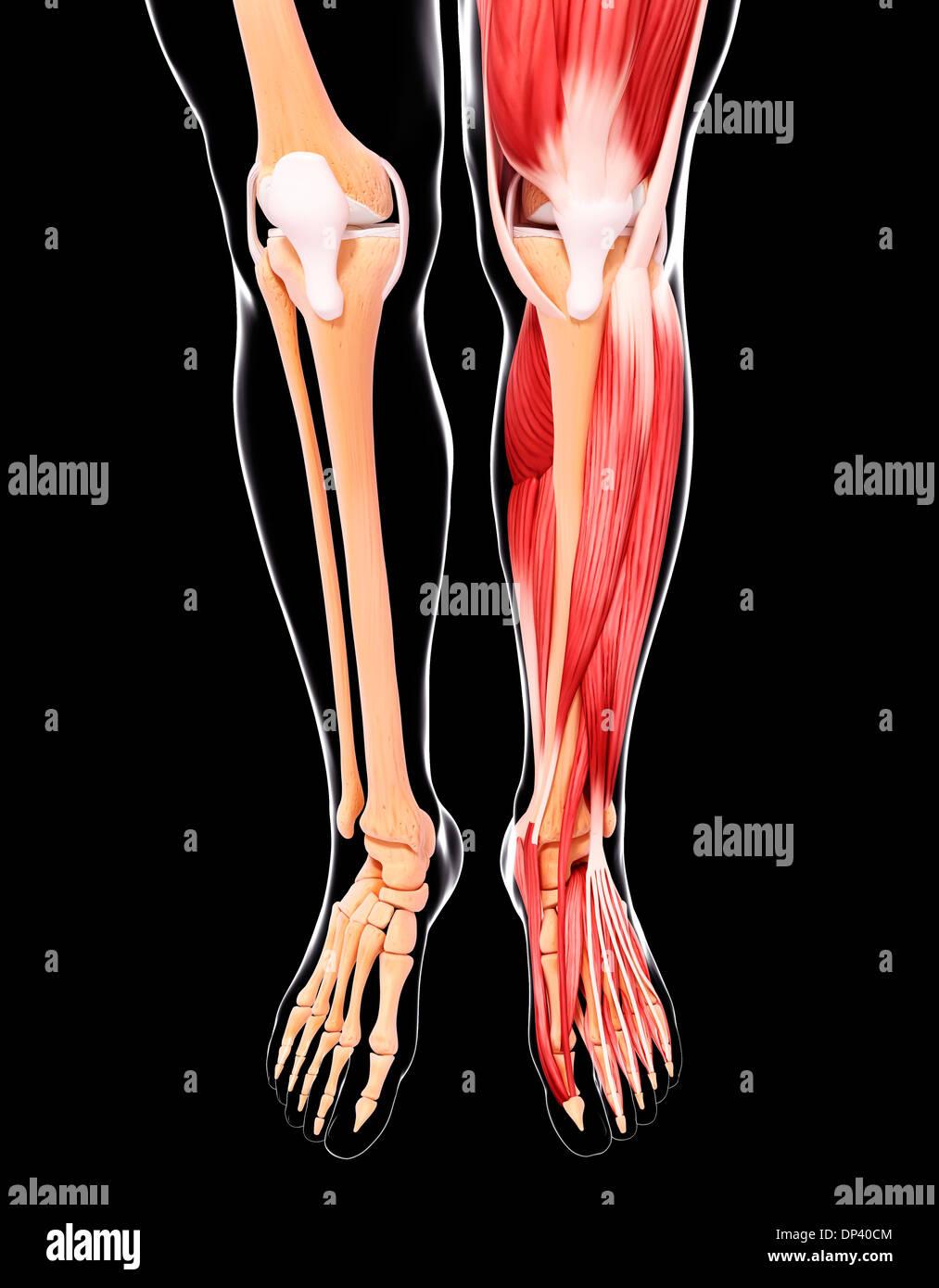 Menschliches Beinmuskulatur, artwork Stockfoto, Bild: 65241700 - Alamy