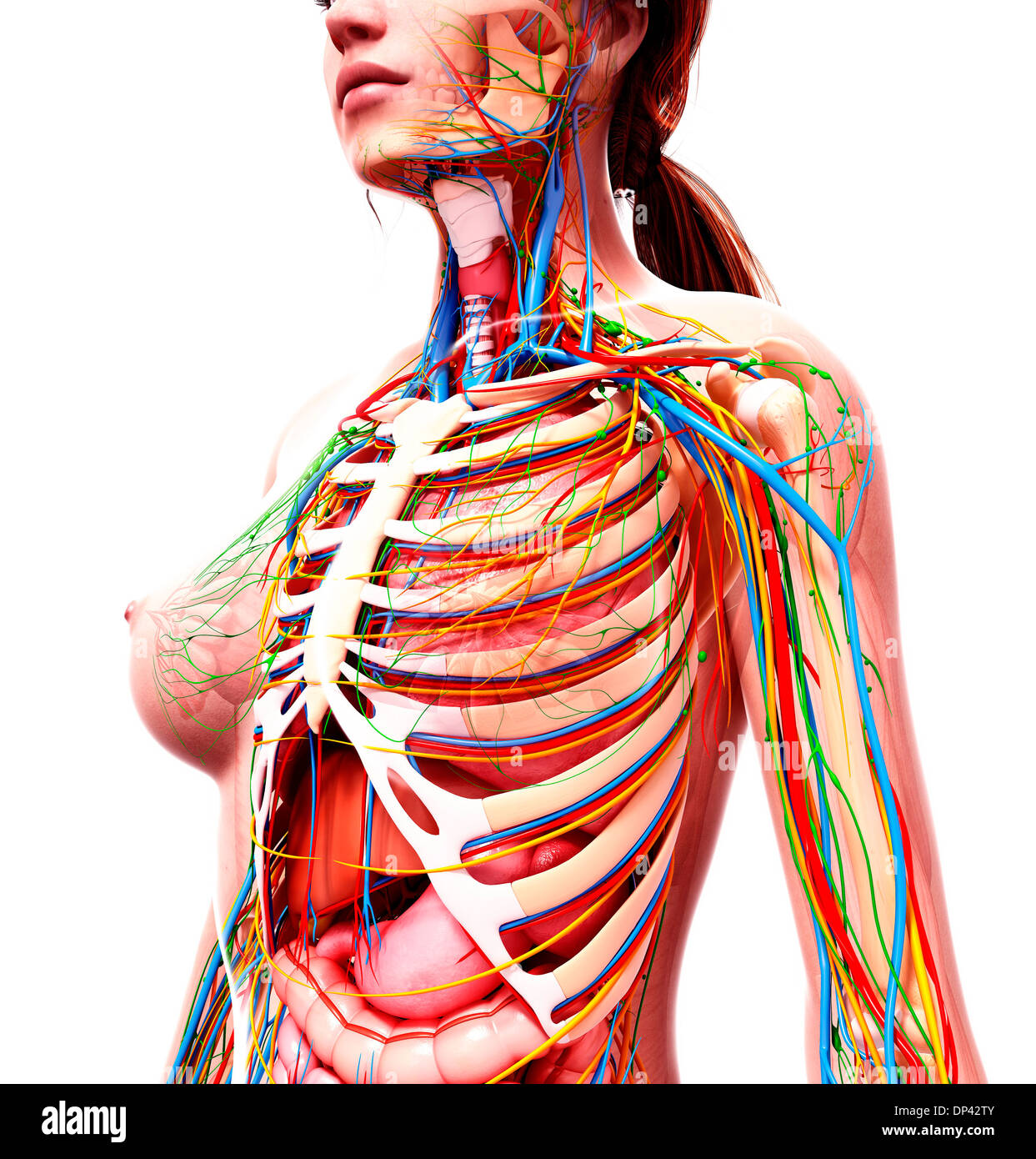Weibliche Anatomie, artwork Stockfoto, Bild: 65243611 - Alamy