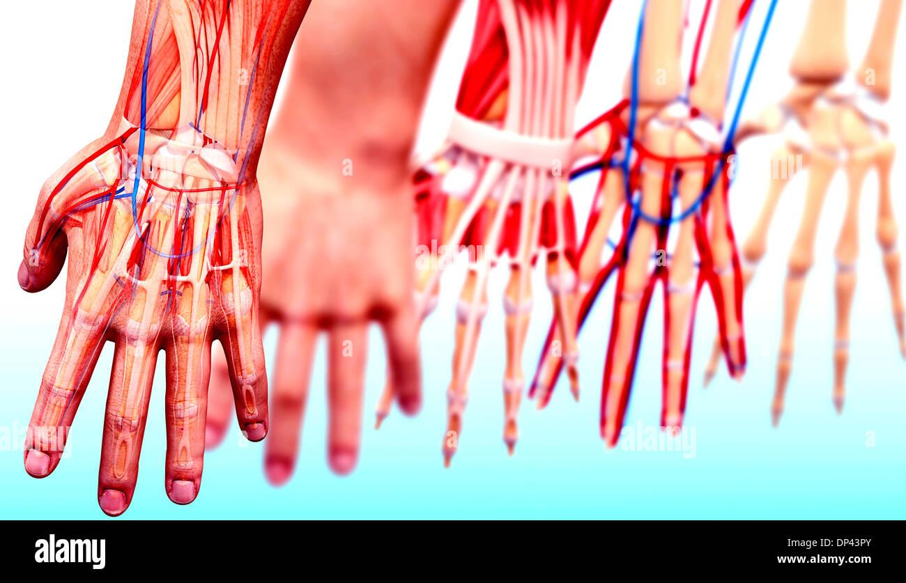 Fantastisch Vaskuläre Anatomie Der Hand Zeitgenössisch - Menschliche ...