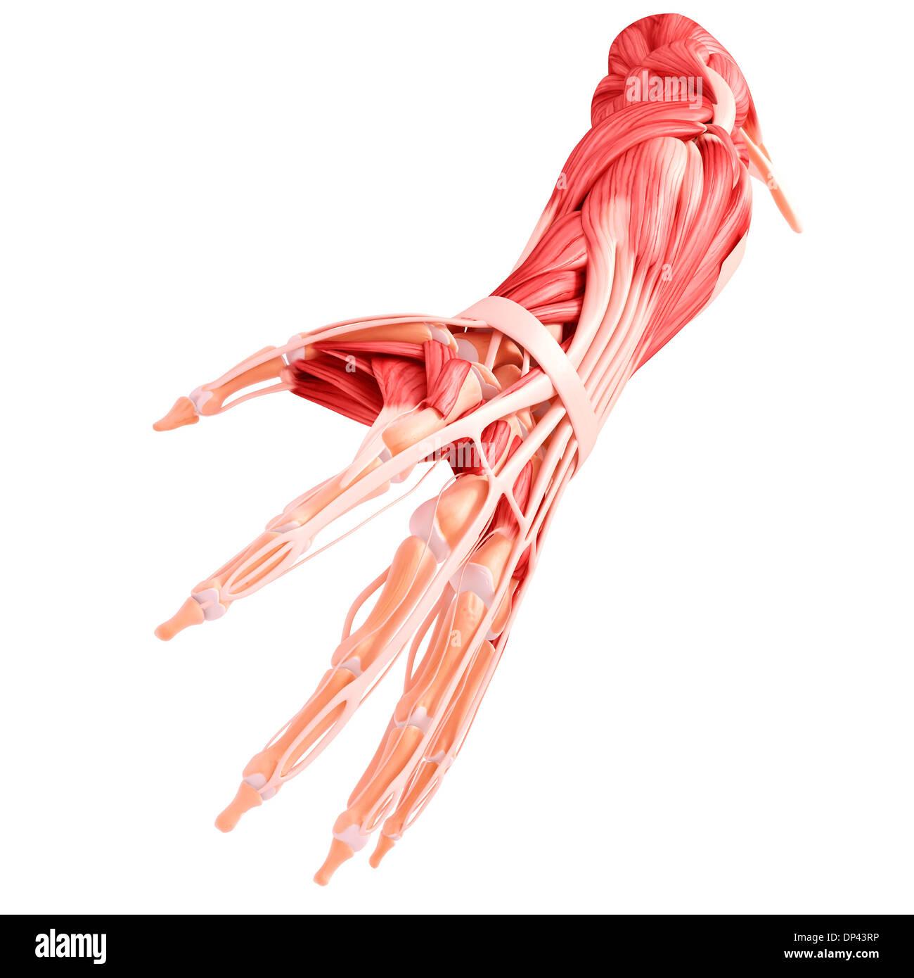 Menschlicher Arm Muskulatur, artwork Stockfoto, Bild: 65244362 - Alamy