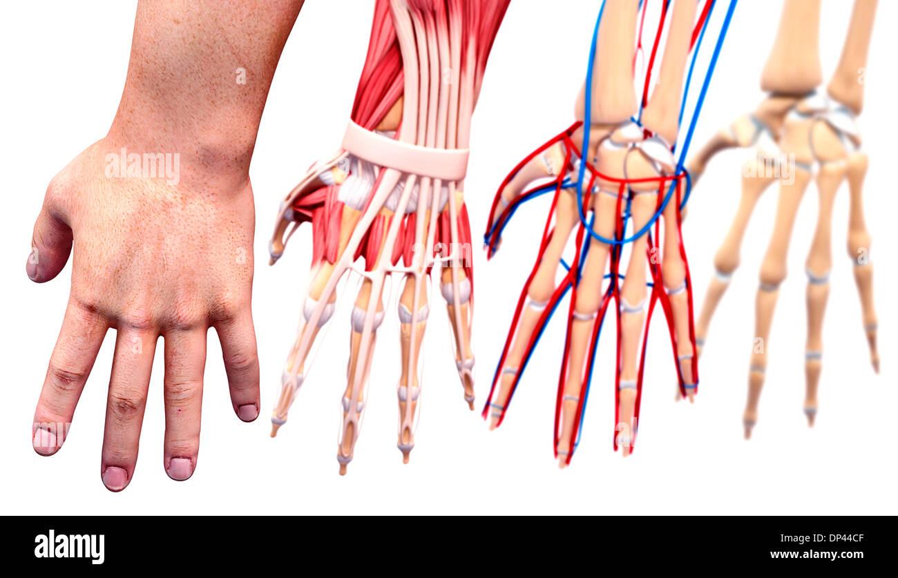 Anatomie der menschlichen Hand, artwork Stockfoto, Bild: 65244831 ...
