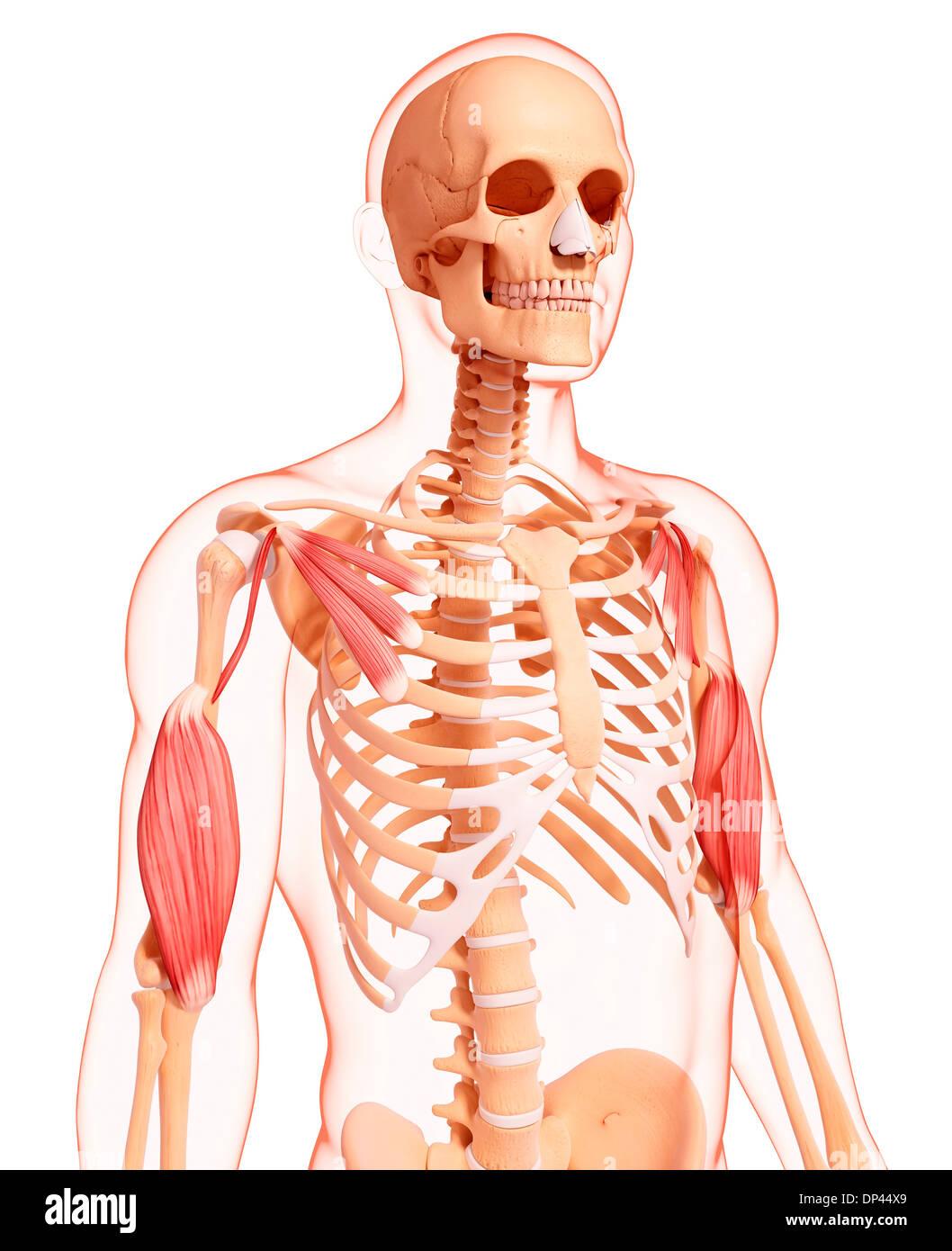 Nett Interaktive Anatomie Muskeln Galerie - Menschliche Anatomie ...