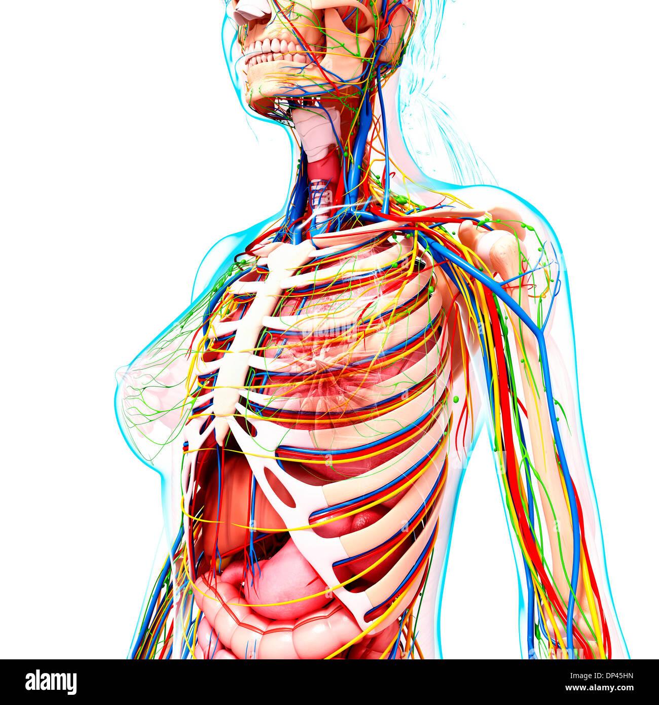 Erfreut Weibliche Anatomie Magen Ideen - Menschliche Anatomie Bilder ...