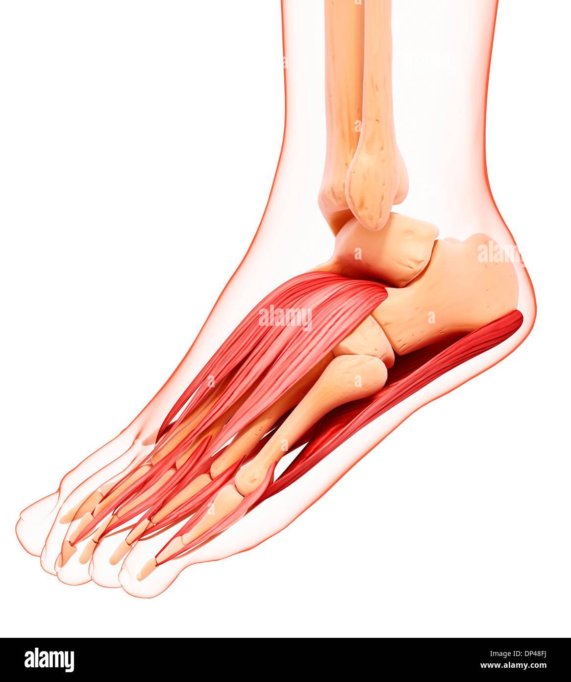 Menschlicher Fuß-Muskulatur, artwork Stockfoto, Bild: 65248054 - Alamy