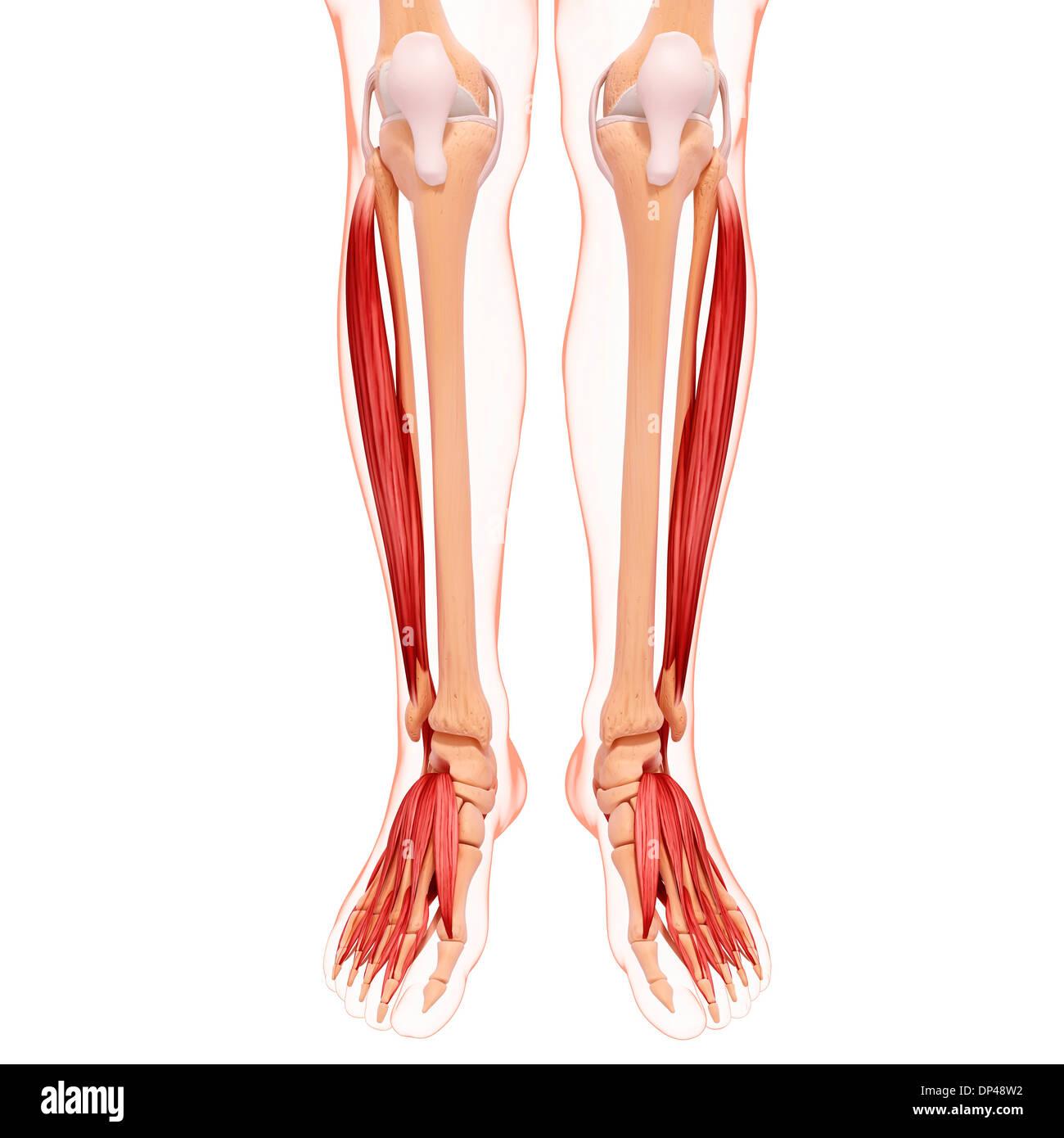 Wunderbar Anatomie Der Beinmuskulatur Und Sehnen Fotos - Menschliche ...