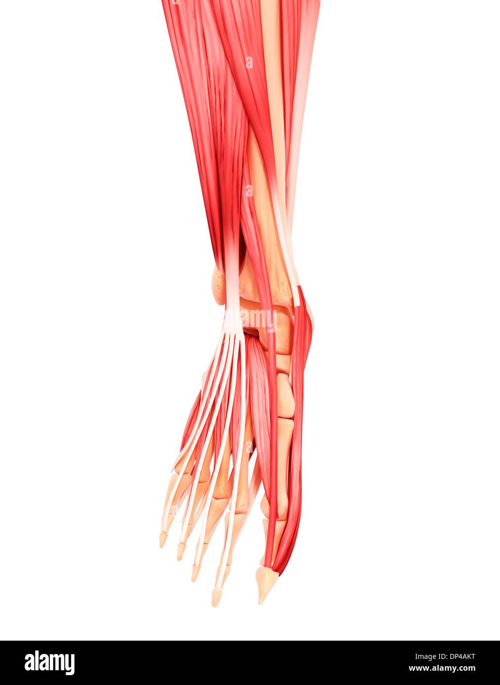 Menschlicher Fuß-Muskulatur, artwork Stockfoto, Bild: 65249740 - Alamy