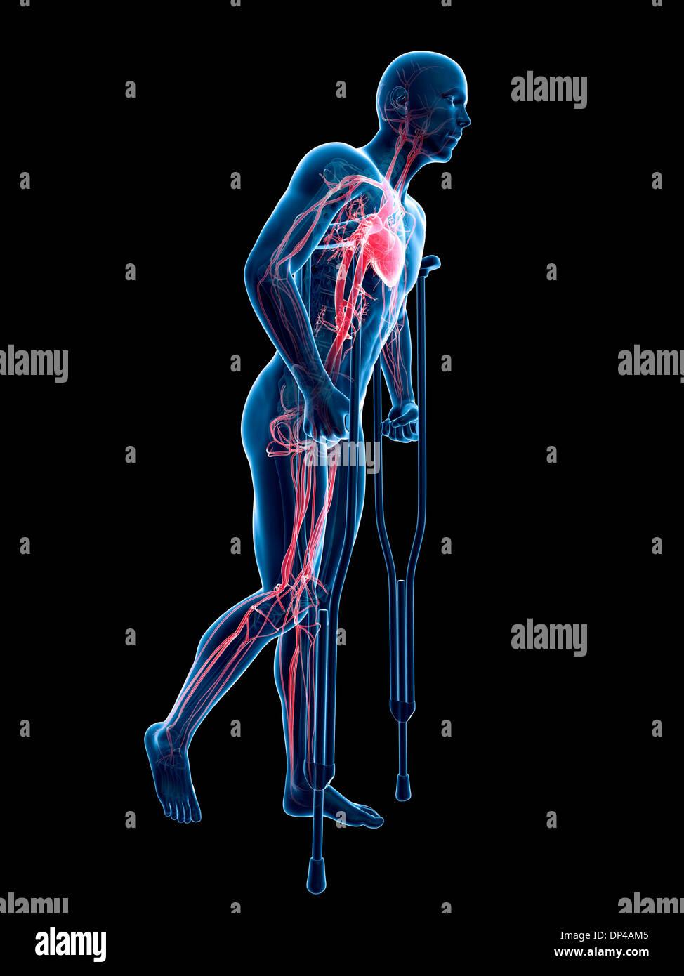 Niedlich Herz Kreislauf Test Anatomie Und Physiologie Fotos ...