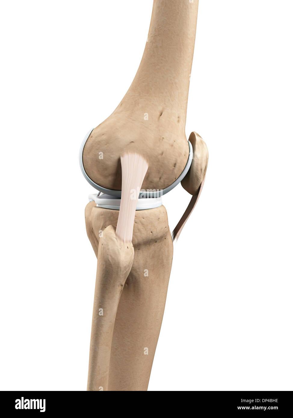 Großzügig Gebeugtes Knie Anatomie Ideen - Menschliche Anatomie ...