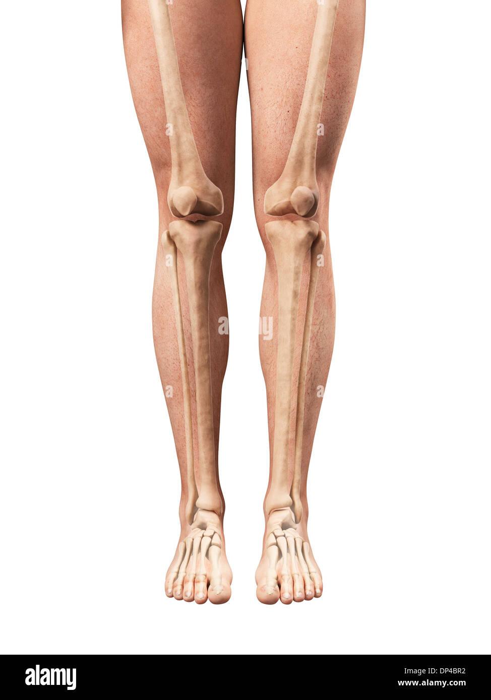 Ziemlich Bein Menschliche Anatomie Bilder - Physiologie Von ...
