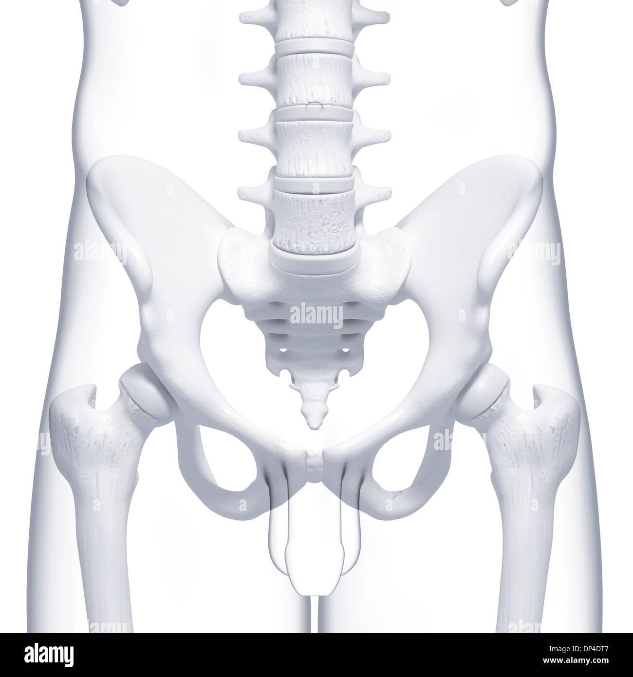 Beste Menschliche Hüftknochen Fotos - Anatomie Von Menschlichen ...