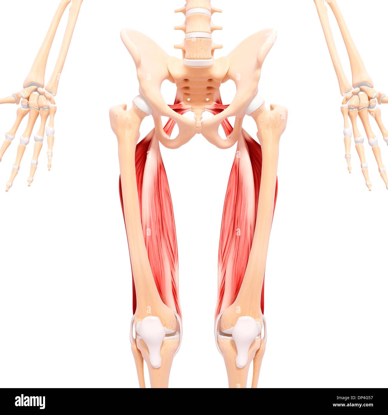 Tolle Beinmuskulatur Bilder Bilder - Menschliche Anatomie Bilder ...