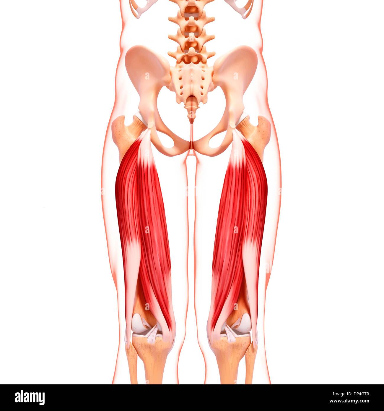 Schön Beinmuskulatur Anatomie Bilder - Menschliche Anatomie Bilder ...