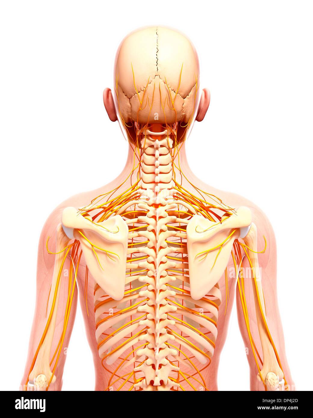 Menschlichen Nervensystem, artwork Stockfoto, Bild: 65255525 - Alamy