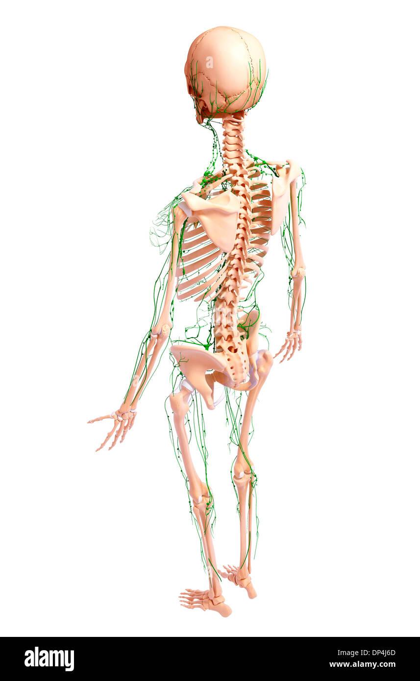 Gemütlich Menschliche Anatomie Des Lymphsystems Galerie ...