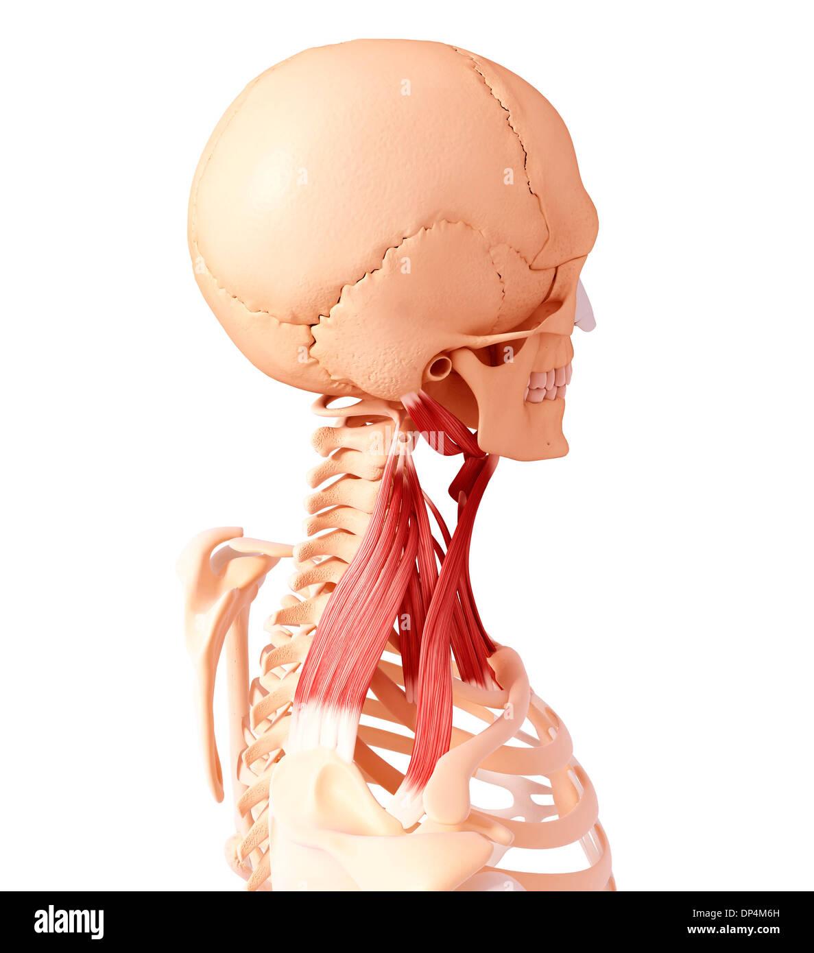 Großartig Anatomie Halsmuskeln Bilder - Anatomie Von Menschlichen ...