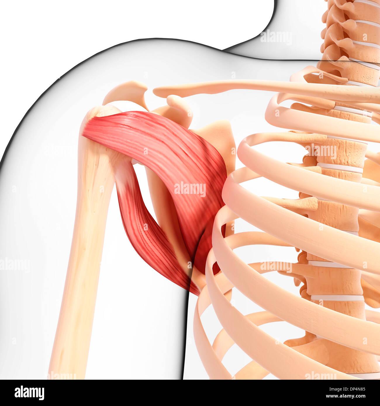 Schön Schultermuskulatur Diagramm Fotos - Menschliche Anatomie ...