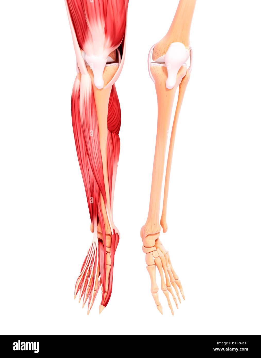 Nett Beinmuskulatur Diagramm Fotos - Menschliche Anatomie Bilder ...