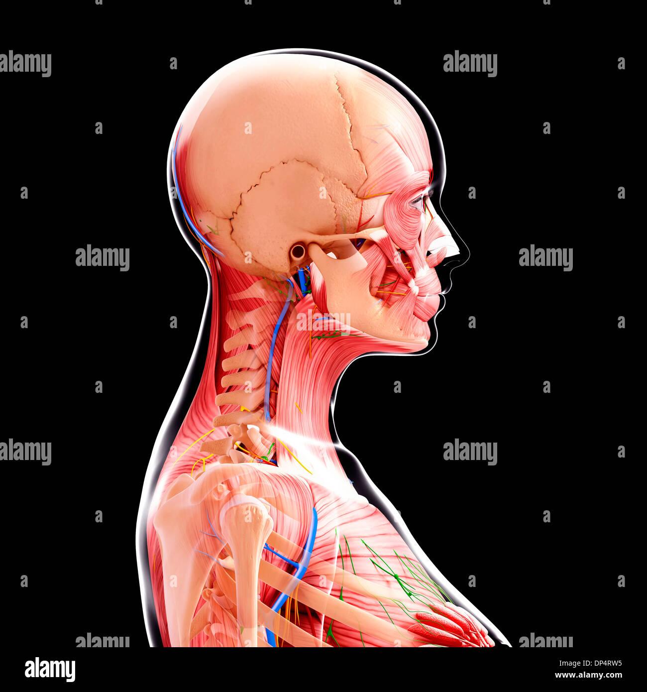 Ausgezeichnet Weibliche Anatomie Urogenitale Zeitgenössisch ...