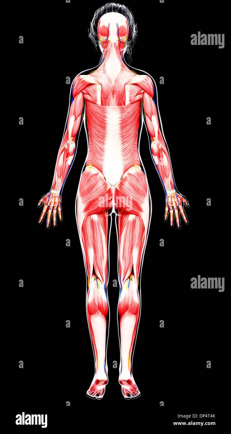 Großzügig Anatomie Und Physiologie Bilder Der Muskeln Fotos ...