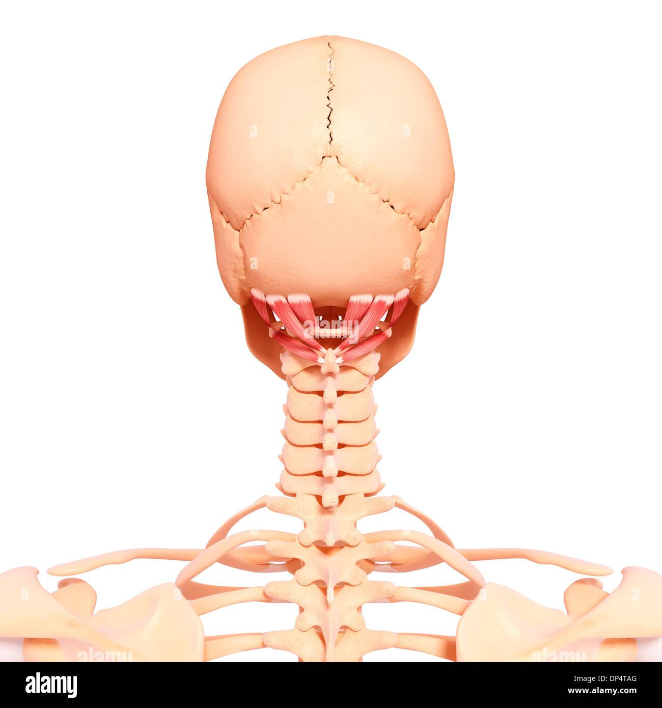 Beste Halsmuskelanatomie Abbildungen Bilder - Menschliche Anatomie ...