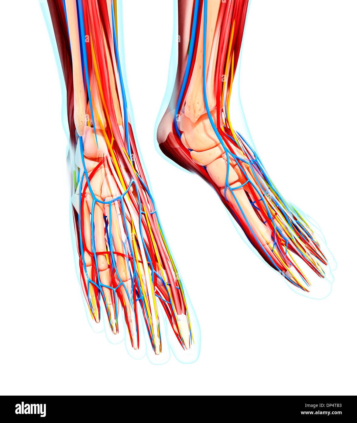 Anatomie des menschlichen Fußes, artwork Stockfoto, Bild: 65260471 ...