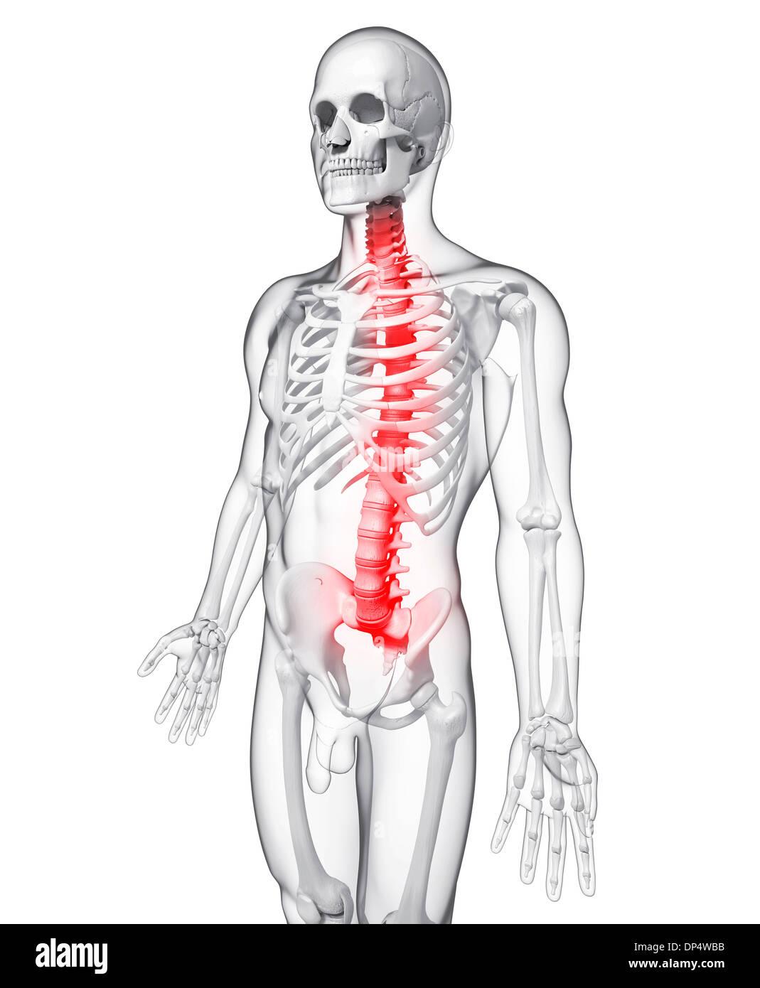Großartig Rückenstrecker Anatomie Fotos - Menschliche Anatomie ...