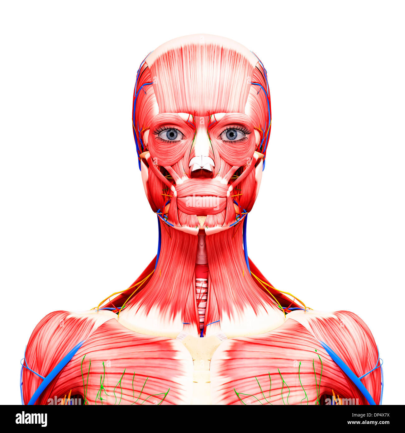 Occipitofrontalis Muscle Stockfotos & Occipitofrontalis Muscle ...