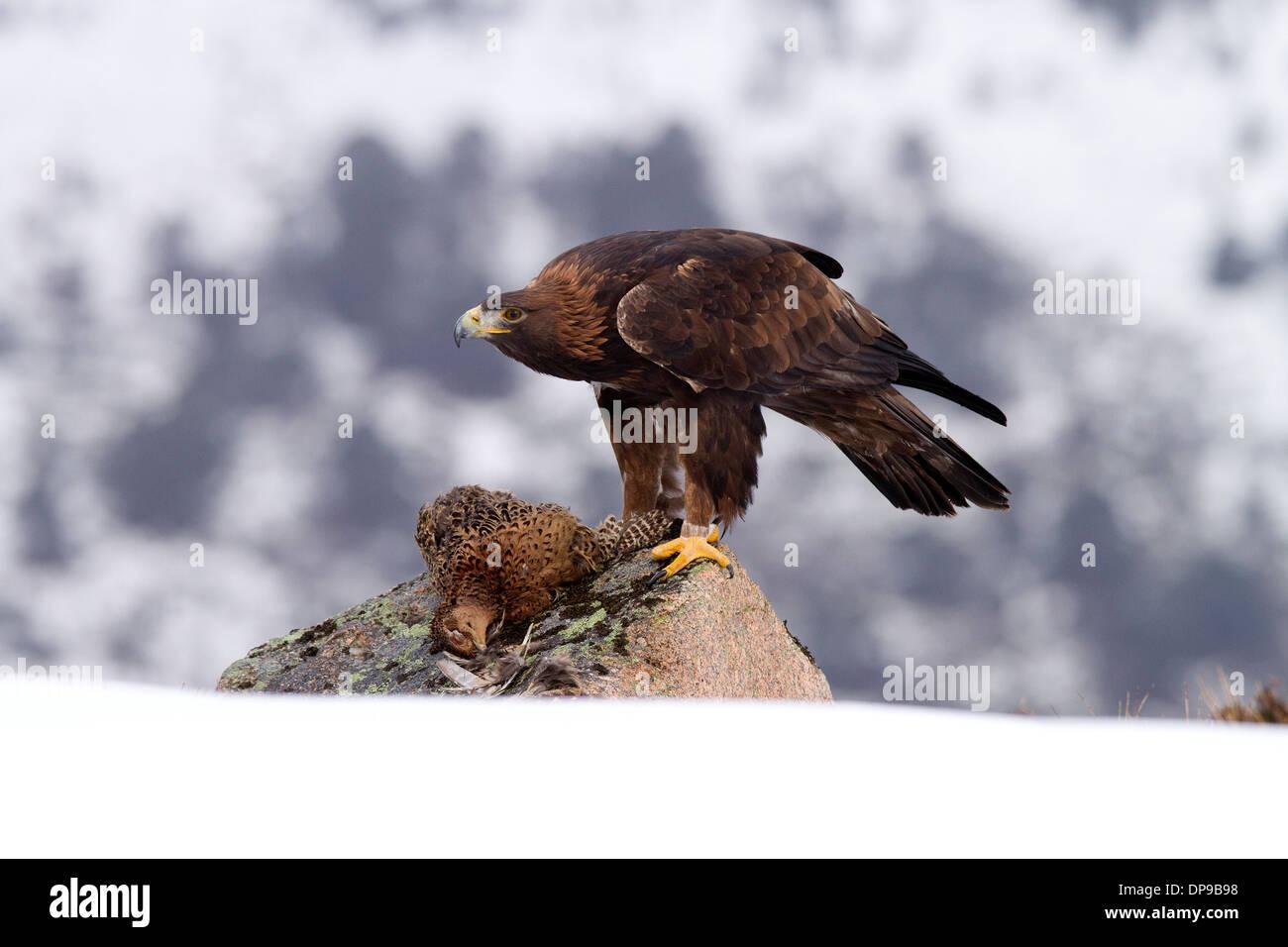 Goldener Adler, Aquila Chrysaetos mit Beute Stockbild