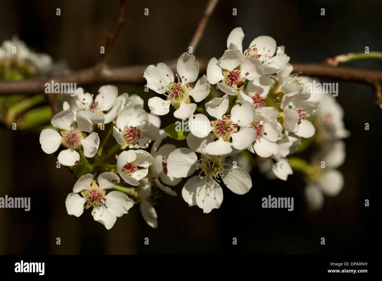 Blume Birne auf Ast im Garten Stockbild