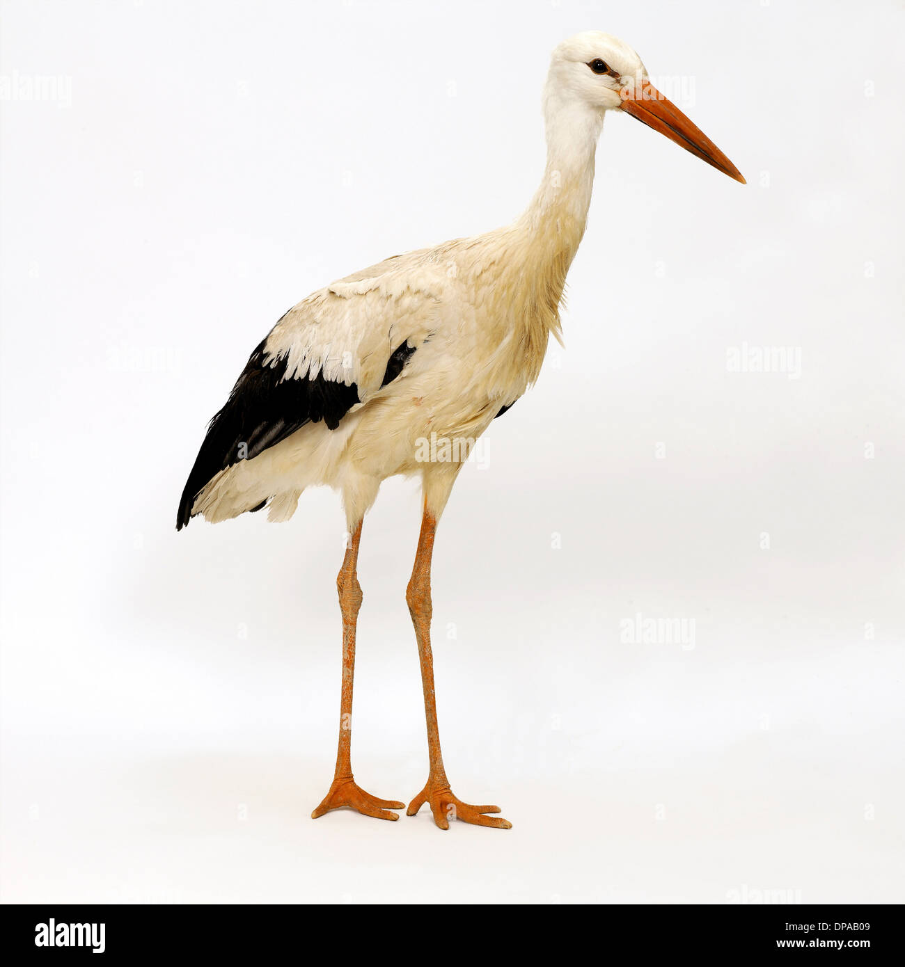 Stork Stockbild