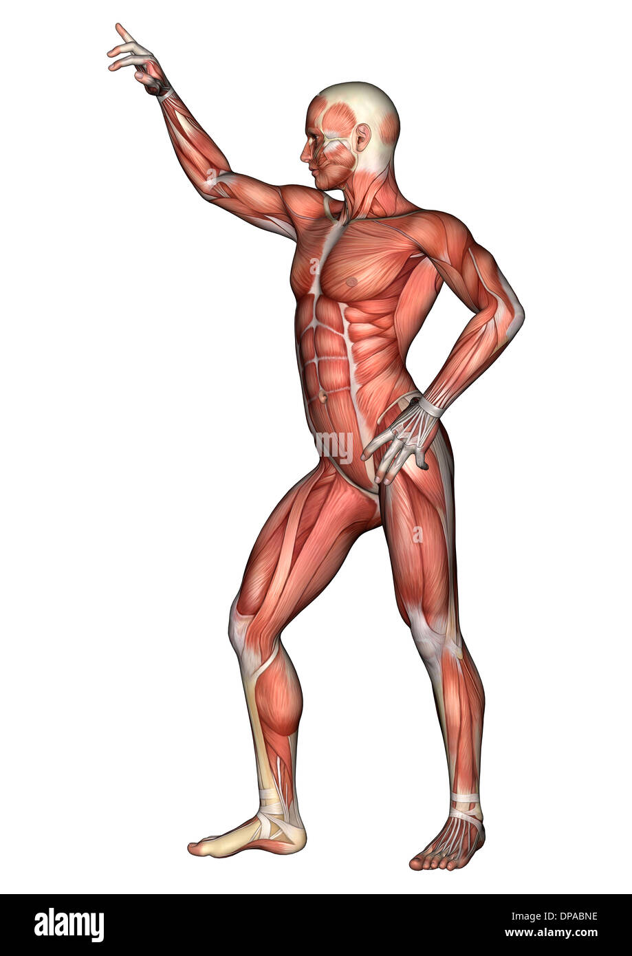Ausgezeichnet Bilder Von Armmuskeln Fotos - Anatomie Ideen - finotti ...