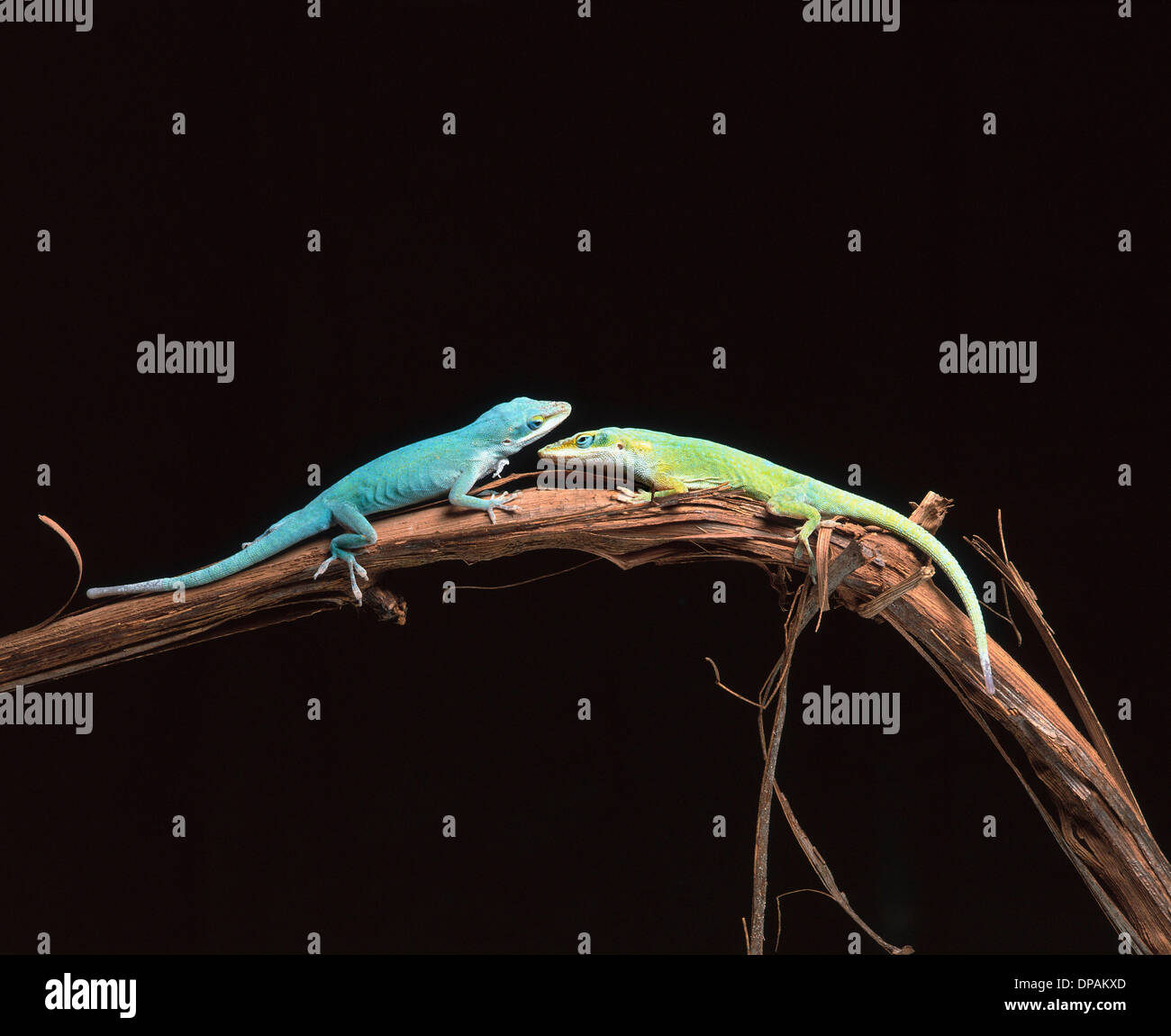 lizards stockfotos lizards bilder alamy. Black Bedroom Furniture Sets. Home Design Ideas