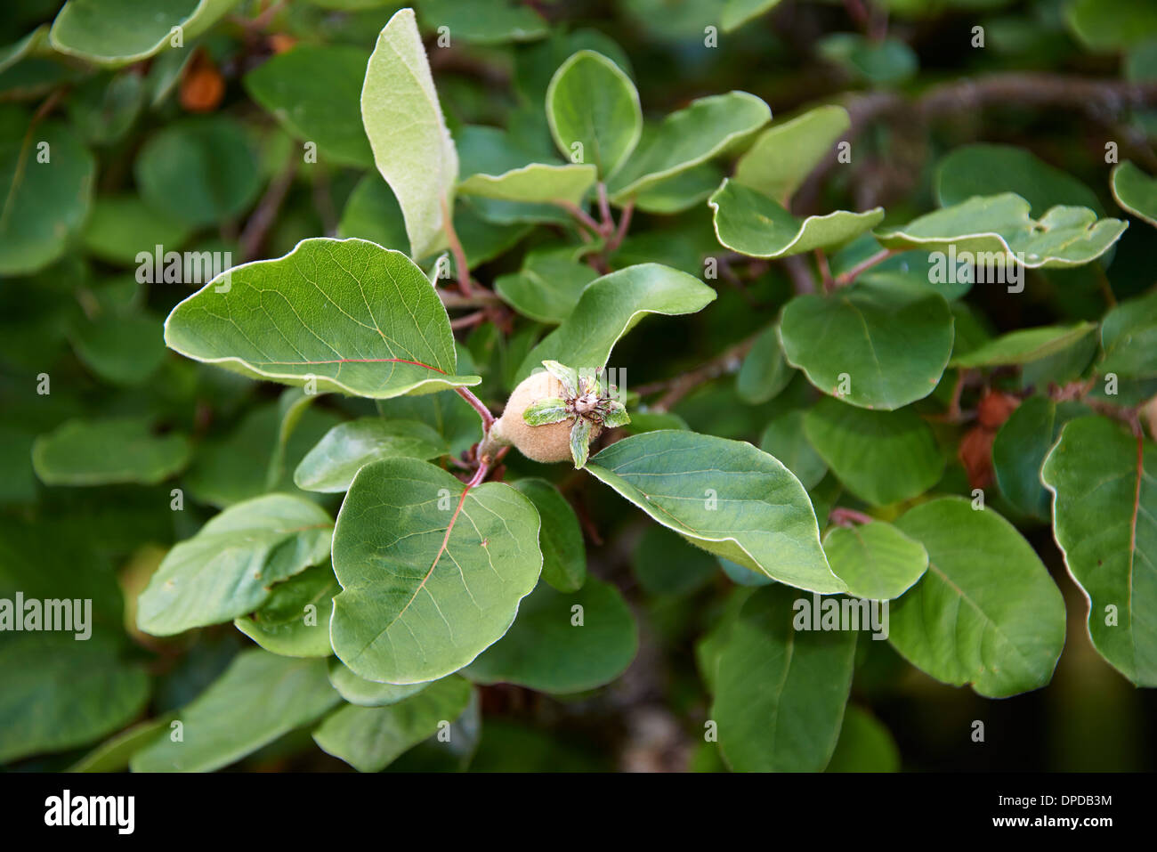 Quitte Baum mit Früchten (Cydonia Oblonga) Stockbild